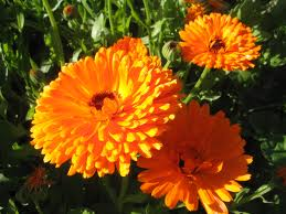 Report on Marigolds Bradford C. Bearce