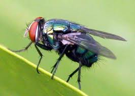 Some Biological Aspects of The Australian Sheep Blowfly