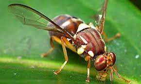 Report on  Management of Fruit Fly