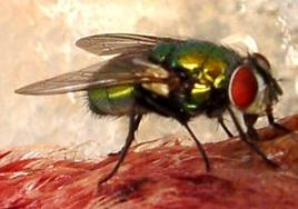 Report on Australian Sheep Blowfly