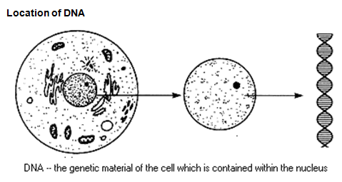 dna stucture