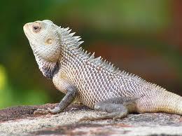 Report on Food and Feeding Habit of Common Garden Lizard