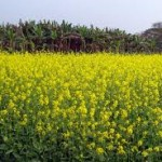 Report on Mustard Cultivation