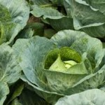 Report on Performance of Cabbage with Different Tree Species
