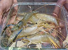 Freshwater Prawn Farming in Bangladesh