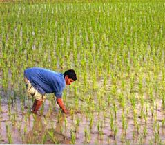 Rice is Life in Bangladesh