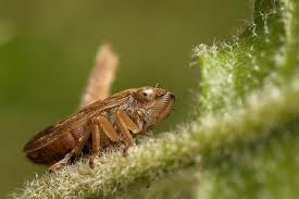 The Brown Planthopper