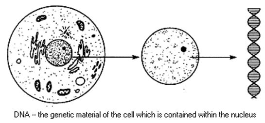 dna nucleus