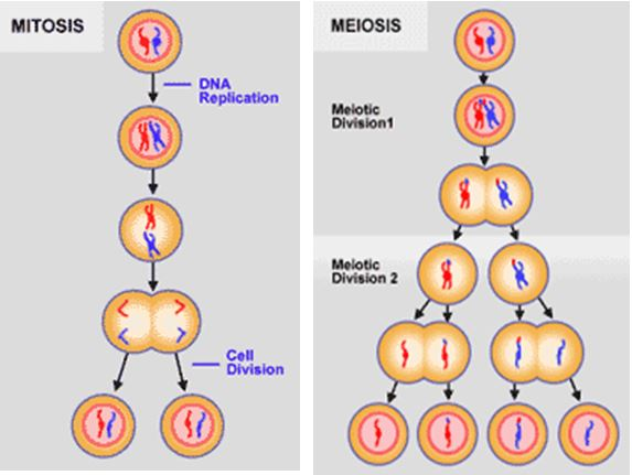 You grew nucleus human cells except sperm another