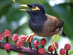 Ecology and Behavior of Common Myna