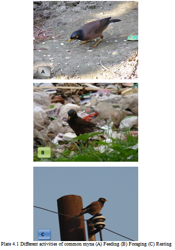 Different activities of common myna (A) Feeding (B) Foraging (C) Resting