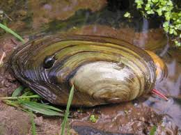 Characteristics of Freshwater Mussels