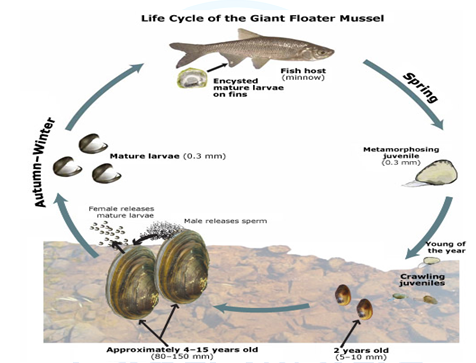 Life History of freshwater mussels