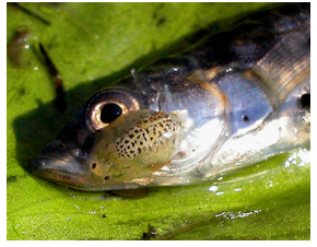 Fish attacked by an Argulus