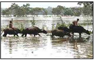 Problem to maintain livestock in flood