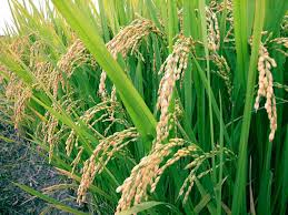 Compare Between Rice and Jute Investment