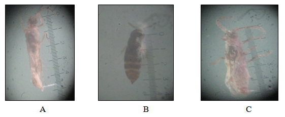 A braconid parasitoid found in association with P.marginatus