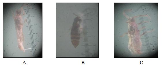 A braconid parasitoid found in association with P.marginatus
