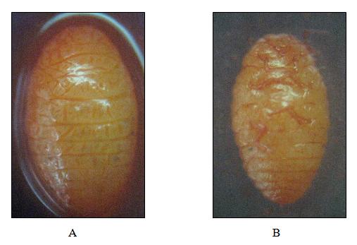 Adult female of P. marginatus. A) Dorsal B) Ventral