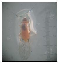 Adult  male of P.marginatus