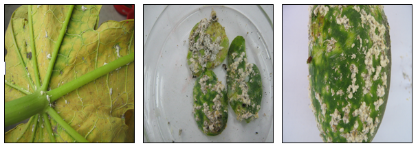 Papaya leaf infested with nyphal and adult stages of  P.marginatus