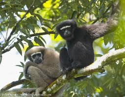 Conservation of Hoolock Gibbons