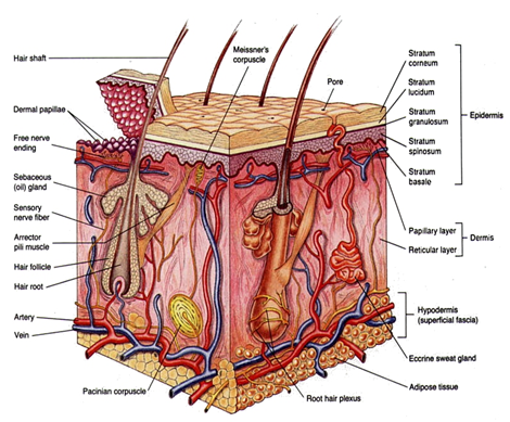 Showing the layer of epidermis and dermis