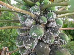 Damage Potential and Control Strategies of Papaya Mealybug