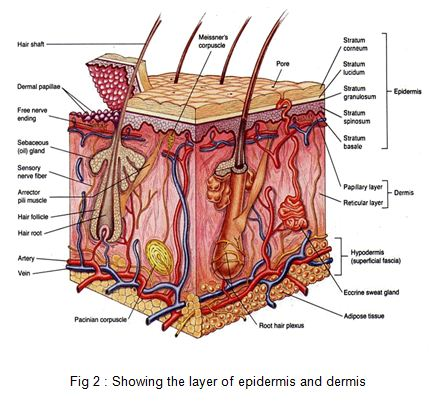 the layer of epidermis and dermis