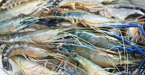 Thesis on Quality of Preserved (-20°C) Freshwater Giant Prawn