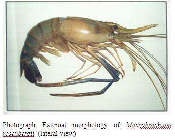 Thesis on Quality of Preserved (-20 °C) Freshwater Giant Prawn