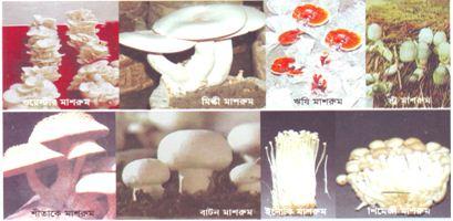 Prospects of Mushroom in Bangladesh
