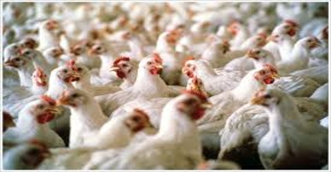 Poultry Product Marketing of C.P. Bangladesh Limited