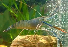 Quality of Preserved Freshwater Giant Prawn