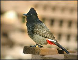 Ecology and Behaviour of Red-Vented Bulbul