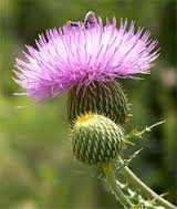 Article on Various Heath Benefits of Milk Thistle