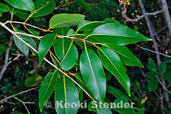 Phytochemical and Biological Investigations of Syzygium Cumini