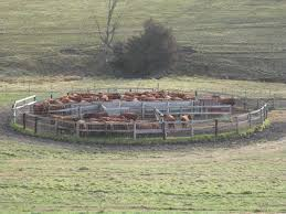 Discussed on Cattle Corral Designs for the Safety of Handlers