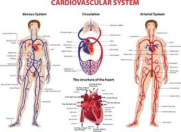 Lecture on Cardiovascular System