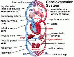 Presentation on Cardiovascular System