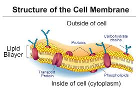 Lecture on Cell Membrane