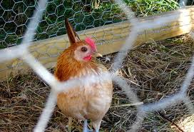 Discuss All Chicken Wire Fence