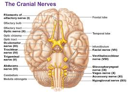 Lecture on Brain and Cranial Nerves