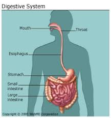 Lecture on Digestive System