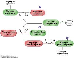 Lecture on Glycogen Metabolism