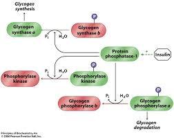 Lecture on Glycogen Metabolism