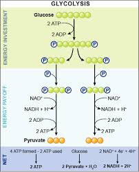 Lecture on Glycolysis