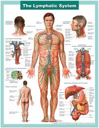 Lecture on the Lymphatic System