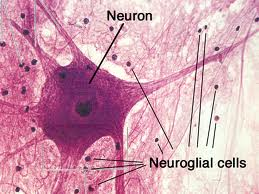 Lecture on Neural Tissue
