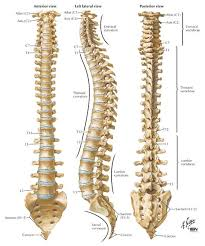 Lecture on Spinal Cord and Spinal Nerves